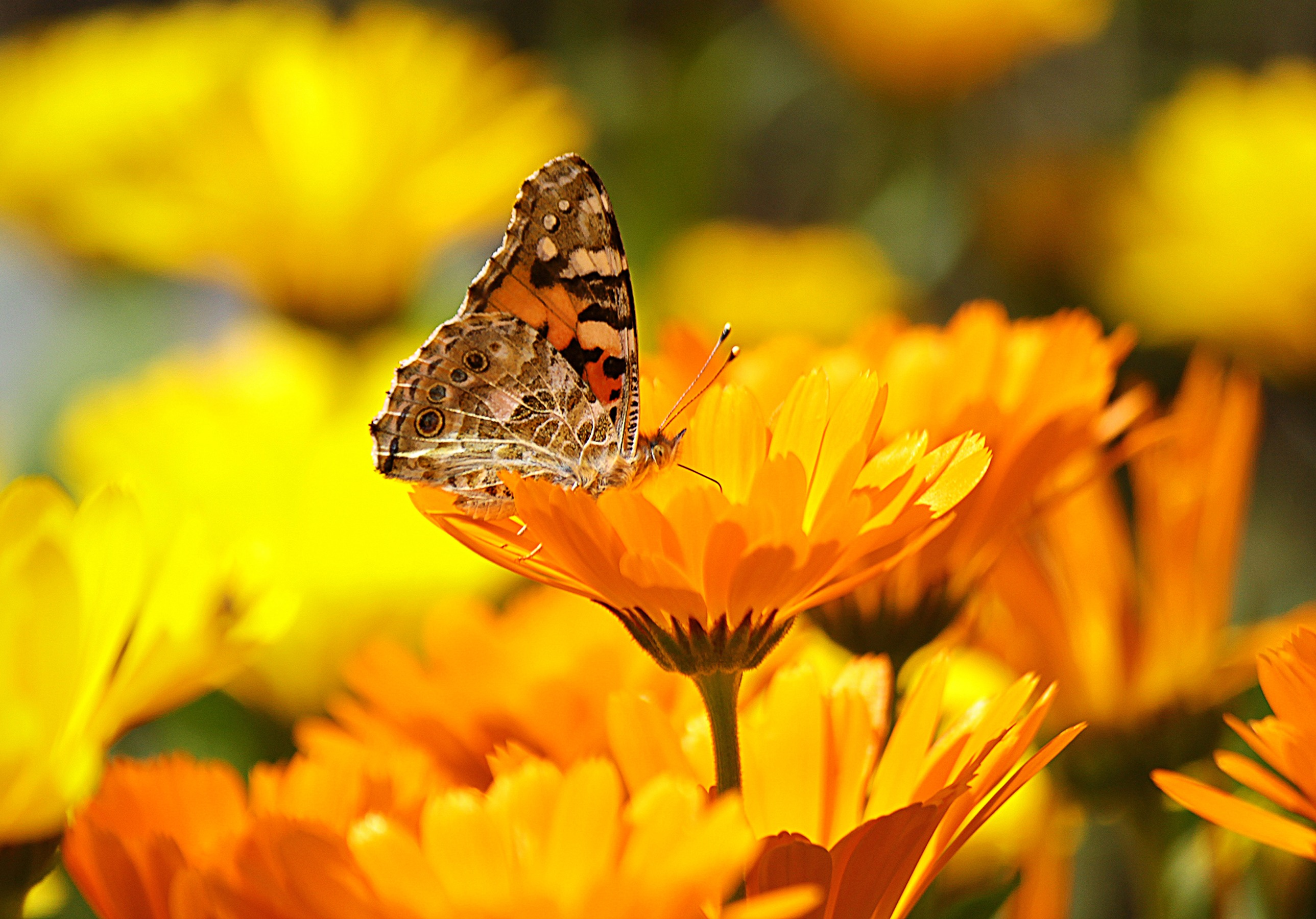 butterfly-yellow-insect-nature-65255.jpeg